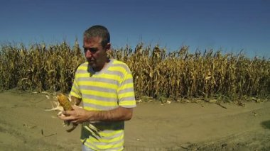 Farmer holding corn cobs in hands — Stock Video