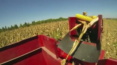 Harvested corn cobs falling into wagon — Stock Video