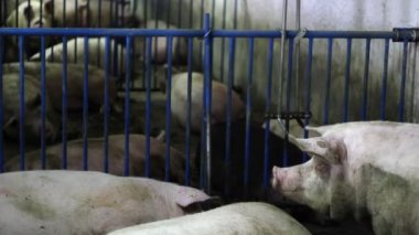 Intensively farmed pigs in batch pens — Stock Video