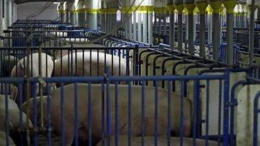 Pig Farming — Stock Video