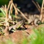 Agile lizard in its natural habitat — Stock Photo #52679307
