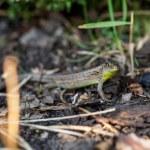 Agile lizard in its natural habitat — Stock Photo #52679339