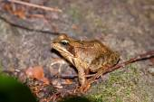 Common frog, Rana temporaria — Stock Photo