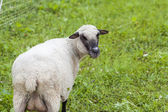 Sheep in a summer pasture — Stock Photo