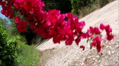 Magenta bougainvillea flowers — Stock Video