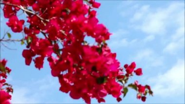 Pink flowers in the wind — Stock Video