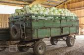 Freshly harvested cabbages — Foto Stock
