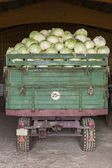 Freshly harvested  cabbages — Stock Photo