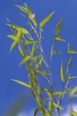 绿色竹子 — 图库照片