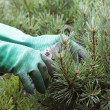 ������, ������: Hands Trimming spruce with Clippers