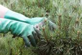 Hands Trimming spruce with Clippers — Stock Photo
