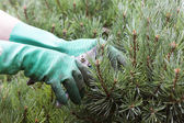 Hands Trimming spruce with Clippers — Stok fotoğraf
