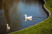 Pond with geese — Stock Photo