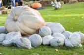 Giant Pumpkin cucurbita pumpkins — Stock Photo