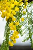 Yellow Mimosa flowers — Stock Photo