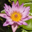 Blue lotus flower or water lily — Stock Photo #73794971