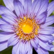 Blue lotus flower or water lily — Stock Photo #73794993