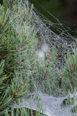 Spider web with water droplets — Stock Photo