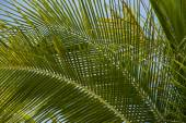 Green, fresh palm tree branches — Stock Photo