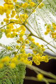 Vivid yellow Mimosa flowers — Stock Photo