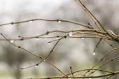 Wet branches without leaves — Stock Photo
