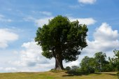 Beautiful tree with thick trunk on top of a hill in summer with blue sky — Stock Photo