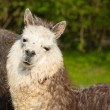 Alpaca portrait of this beautiful cute animal from South America — Stock Photo #70065135