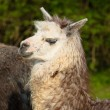 Alpaca cute animal with smiley face against green background in profile — Stock Photo #70065251