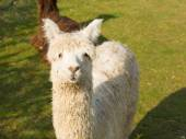 Alpaca South American camelid resembles small llama coat used for wool — Stock Photo