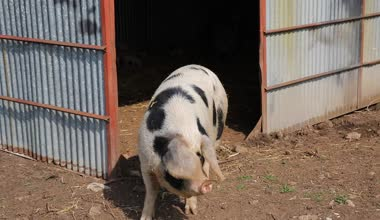 Spotted sow female pig Pietrain breed looking to camera inquisitive and questioning — Stock Video
