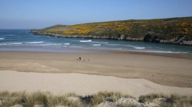 Crantock beach view to Pentire North Cornwall England UK near Newquay in spring with blue sky and sea and yellow gorse — Stock Video