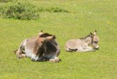 Mother and baby donkey in the New Forest Hampshire England UK in the summer sunshine — Stock Photo