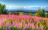 Pink flowers uk countryside Quantock Hills Somerset towards Hinkley Point Nuclear Power station and Bristol Channel on a summer evening from Cothelstone hill — Stock Photo