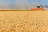 Golden ears of wheat — Stock Photo
