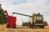 Combine harvester and tractor's trailer full of wheat grains — Stock Photo