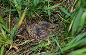 Lark nest with little birdies — Stock Photo