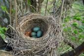 Blackbird nest with eggs — Stock Photo