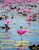 Pink lotus in lake at Udon thanee — Stock Photo