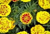 Vibrant marigold in garden — Stock Photo
