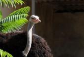 Afriscan ostrich — Stock Photo