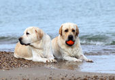 Labradors at the sea with a ball — Stock Photo