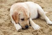 Cachorro labrador en el retrato de mar en la arena — Foto de Stock