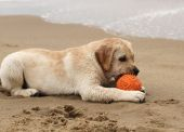 Yellow labrador puppy playing with a ball — Stock Photo
