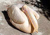 Great pelican (Pelecanus onocrotalus) close — Stok fotoğraf