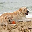 Puppy and yellow labrador playing with a ball — Stock Photo #56059849