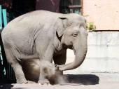 Elephant in the zoo — Stock Photo