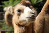 Portrait of a camel close up — Stock Photo