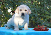 Yellow labrador puppy sitting on blue background with guelder-ro — Stock Photo