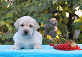 Yellow labrador puppy with guelder-rose — Stock Photo