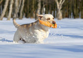 Yellow labradors in winter running with an orange toy — Stock Photo